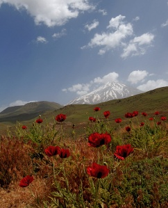 Red Poppies Emerge at the Foot of Damavand in Spring